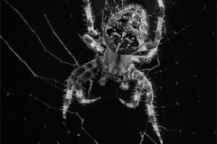 John_Howes-Araneus_Diadematus-9.5