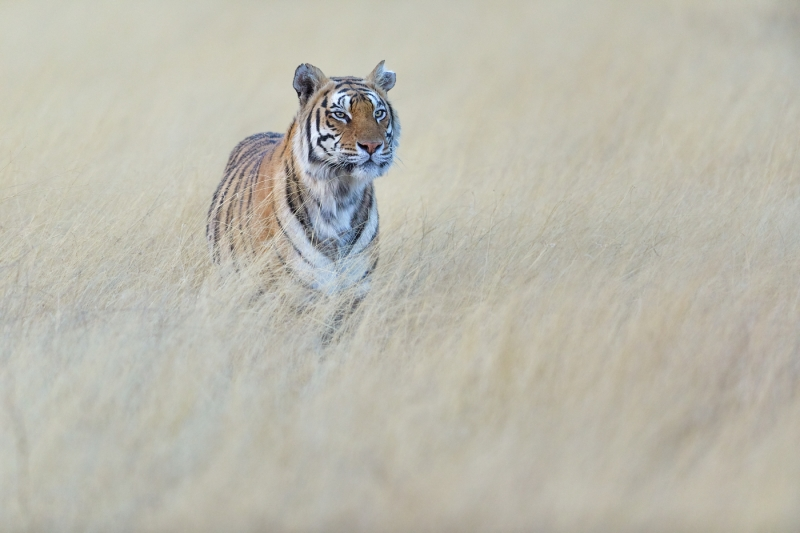 Phil_Shaw-Tiger_Portrait-10