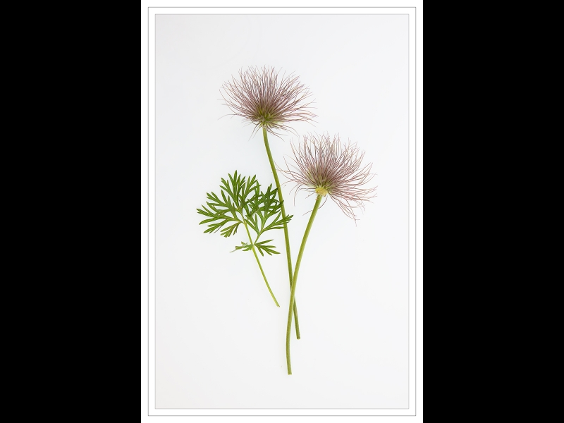 Jim_amp;Sylvia_Waddington-Pulsatilla_Seed_Heads-9