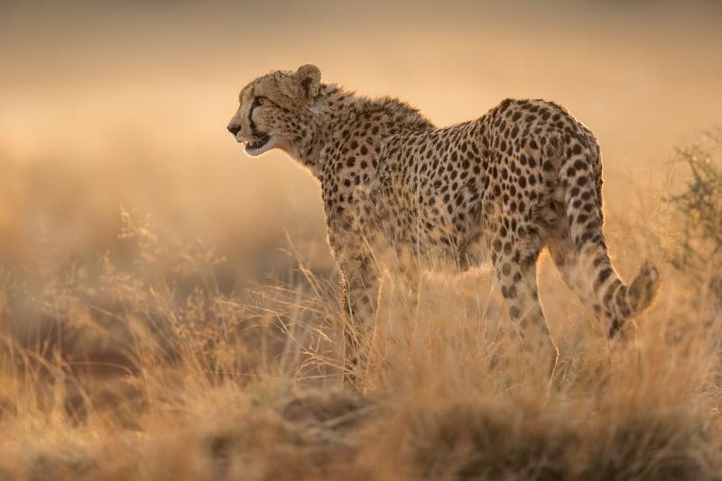 Phil_Shaw-Cheetah_Portrait_in_Evening_Light_No._2-9.5