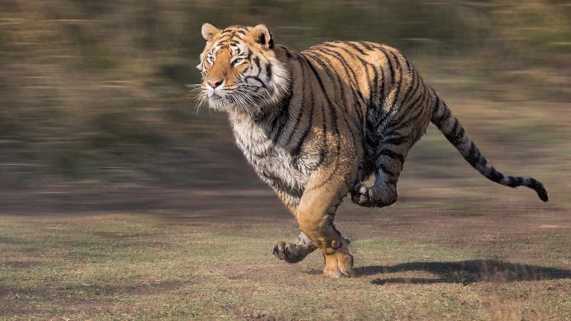 Phil_Shaw-Tiger_-_Action_Portrait-9