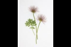 Jim_amp;Sylvia_Waddington-Pulsatilla_Seed_Heads-9