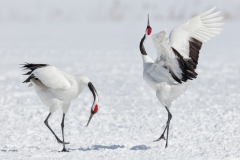 Phil_Shaw-Red-Crowned_Cranes_Courtship_Dance-10