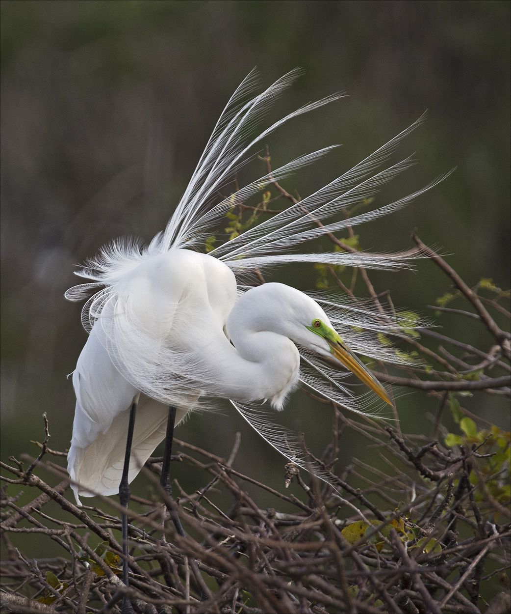 Jeannie Sutherland-Snowy Egret Displaying-10