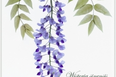 Lorna_Brown-Wisteria-10