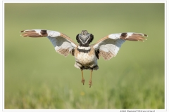 Phil_Shaw-Little_Bustard_Display_Flight-10