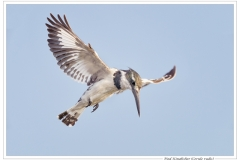 Phil_Shaw-Pied_Kingfisher-10