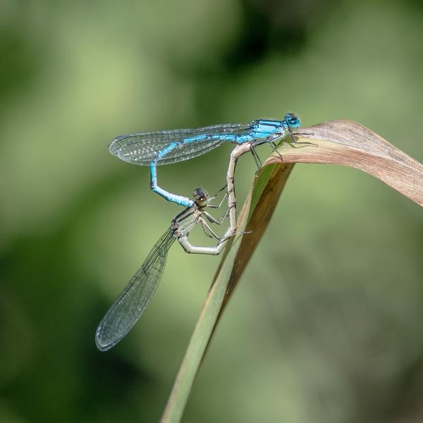 Jim_Munday-Common_Blue_Damselflies_Mating-9.5
