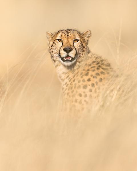 Phil_Shaw-Cheetah_Portrait-10