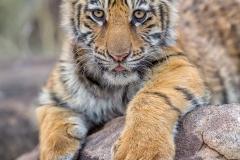Phil_Shaw-Tiger_Cub_Portrait-9