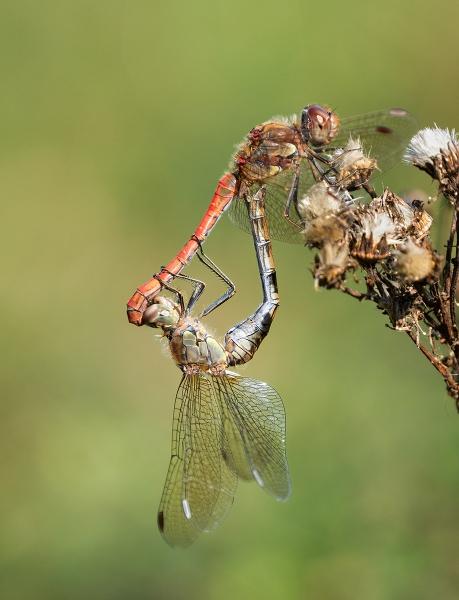 Jim-Munday-Common-Darter-Mating-Pair-9