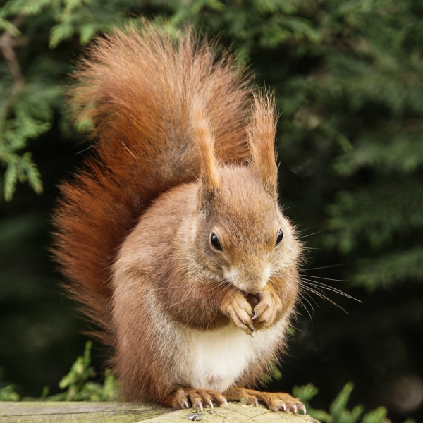 Sarah_Nichol-Squirrel_Feeding-9