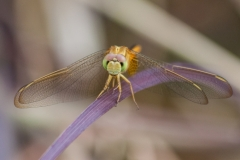 Richard_Webb-Smiling_Crocothemis_Servilia-9.5