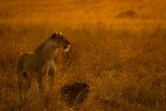 Graham_Ainge-Lioness_at_Sunrise-10