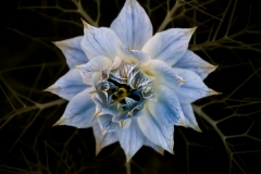 Richard_Webb-Nigella_Damascena-9