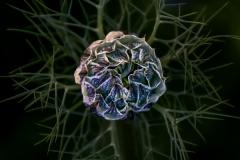 Richard_Webb-Nigella_Damascena_II-9.5