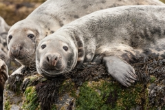 Linda_Bullimore-Seals_on_the_Farne_Islands-9
