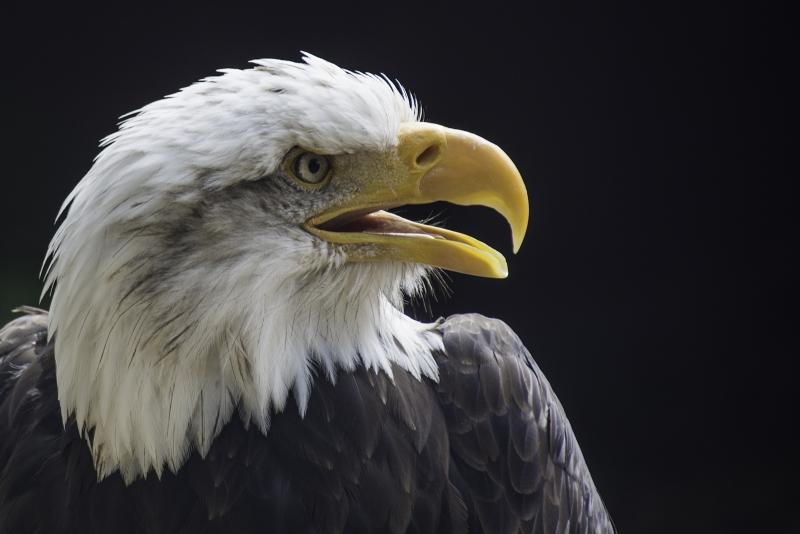 Richard_Smith-Bald_Eagle-9