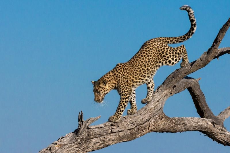 Stephen Tattersall-Descending Leopard in Moremi-9.5