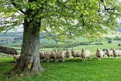 David Donati-Sheep at Chanctonbury 2-10-sml
