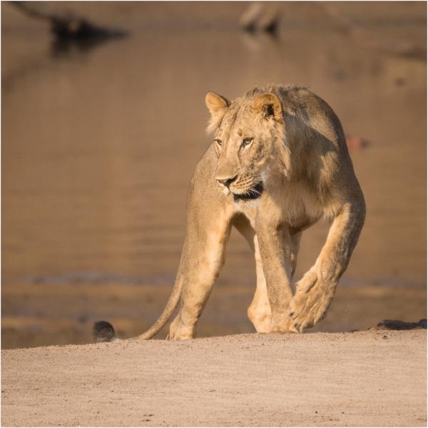 Sarah_Nichol-Lion_by_the_Luangwa-10