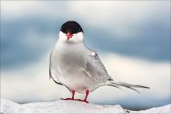 Linda_Bullimore-Arctic_Tern_with_Attitude-9