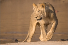 Sarah_Nichol-Lion_by_the_Luangwa-10