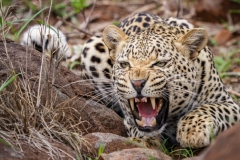 Chris_Gledhill-Angry_Leopard-10