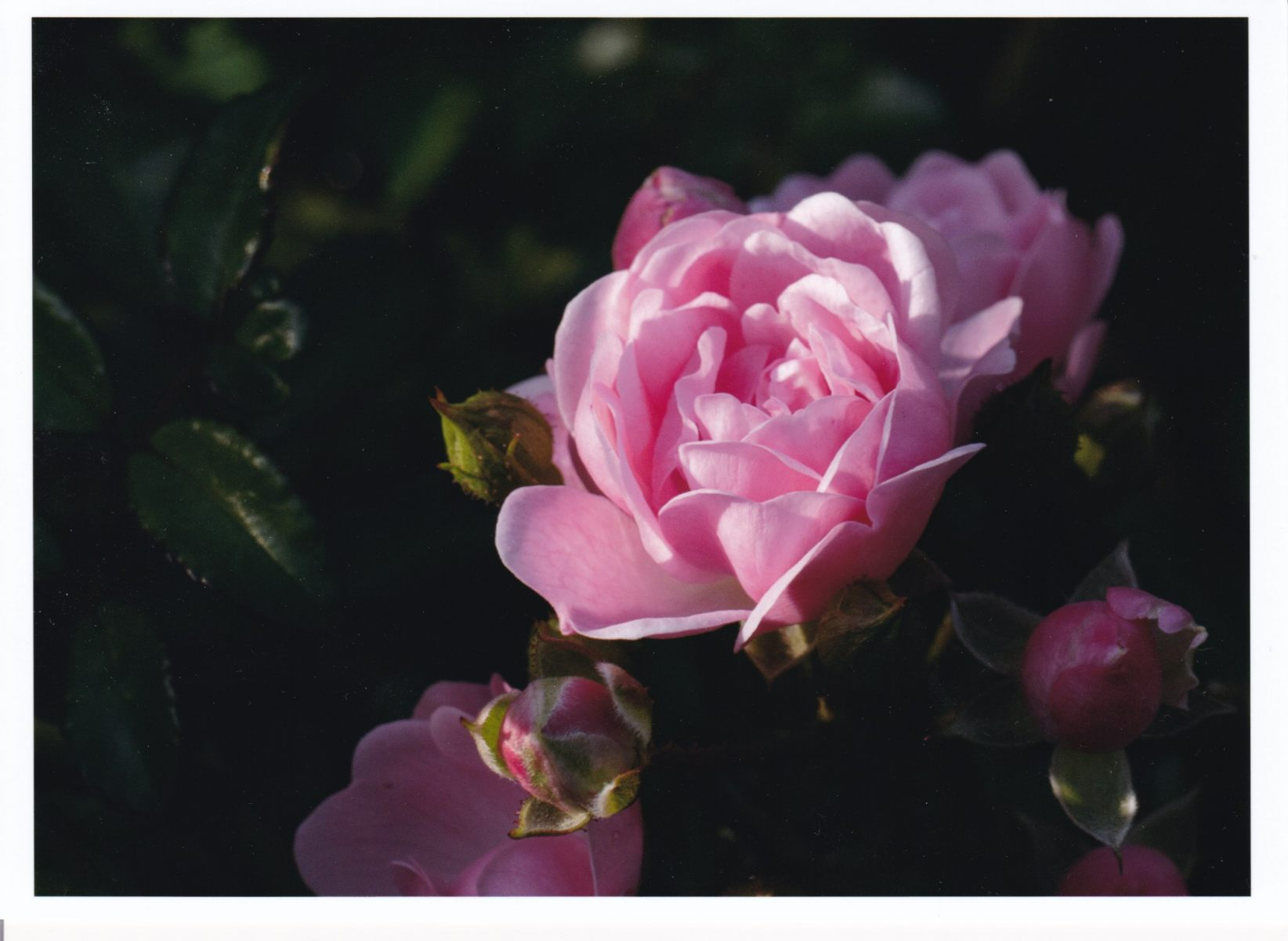 1_1-Fairy-Rose-