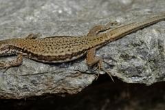Jonathan Barham-European Wall Lizard-9