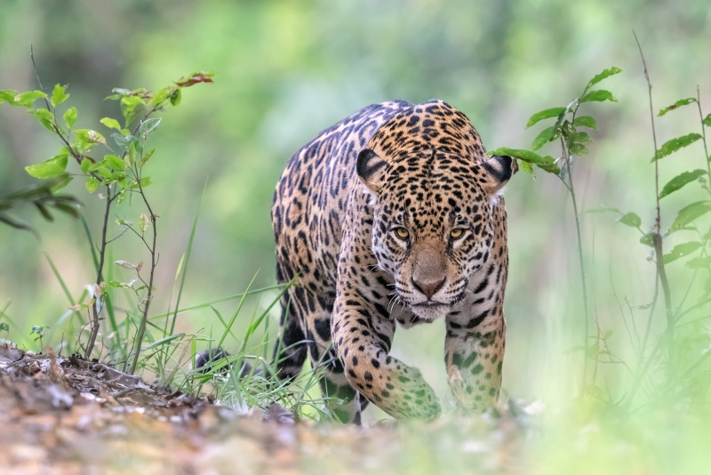 Phil_Shaw-Jaguar_Approaching_Along_Riverside_Trail-10