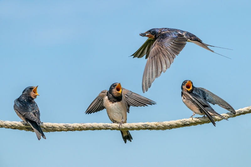 Phil_Shaw-Young_Swallows_Soliciting_Food_from_Parent-9