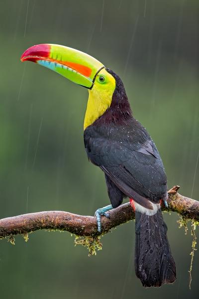 Phil_Shaw-Rainforest_Toucan-10