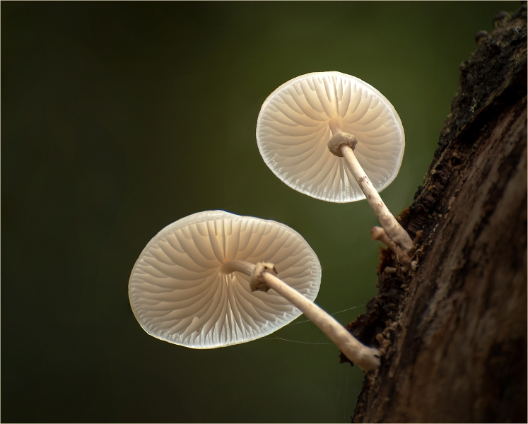 David_Harris-Porcelain_Mushrooms_1-9.5