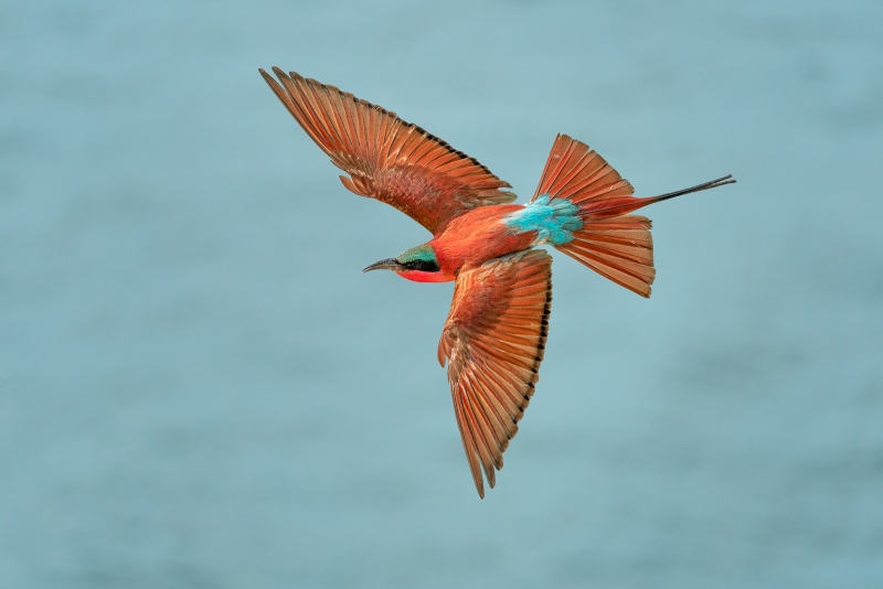 Phil_Shaw-Carmine_Bee-Eater_over_the_Zambezi_River-9
