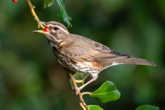 Jim_Munday-Redwing_in_the_Holly-9