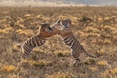 Phil_Shaw-Tiger_Cub_Skirmish-10