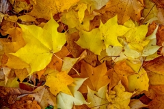 George_Sayer-Autumn_Maples-9
