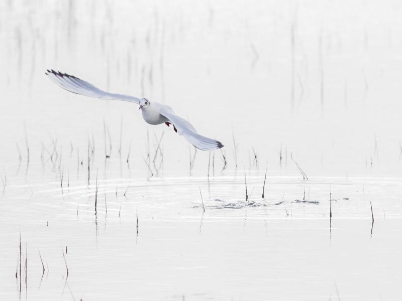 Stephen Tattersall-Majestic Gull-10