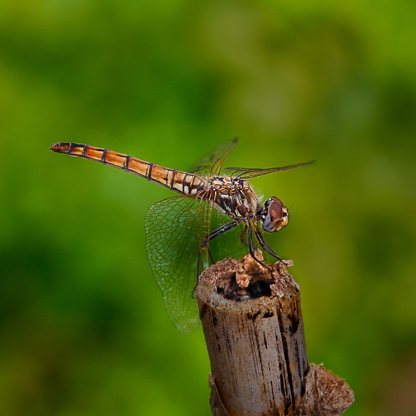 Ray_Thurgood-Dragonfly_on_Old_Bamboo-9