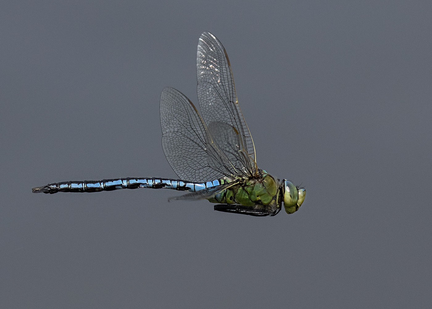 Gary-Howes-Dragonfly-in-Flight-9.5