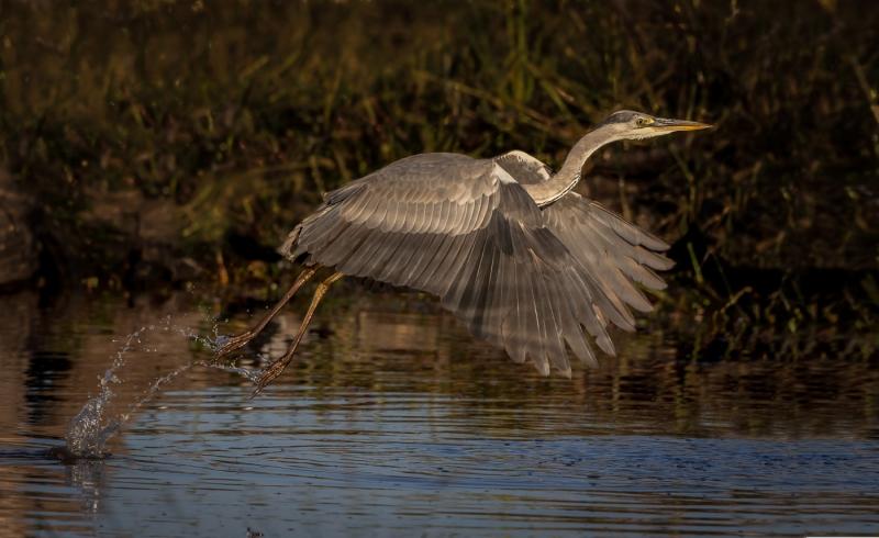 Stephen Tattersall-Ascending Grey Heron-9.5