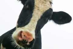Susan_Watts-Curious_Cow-10