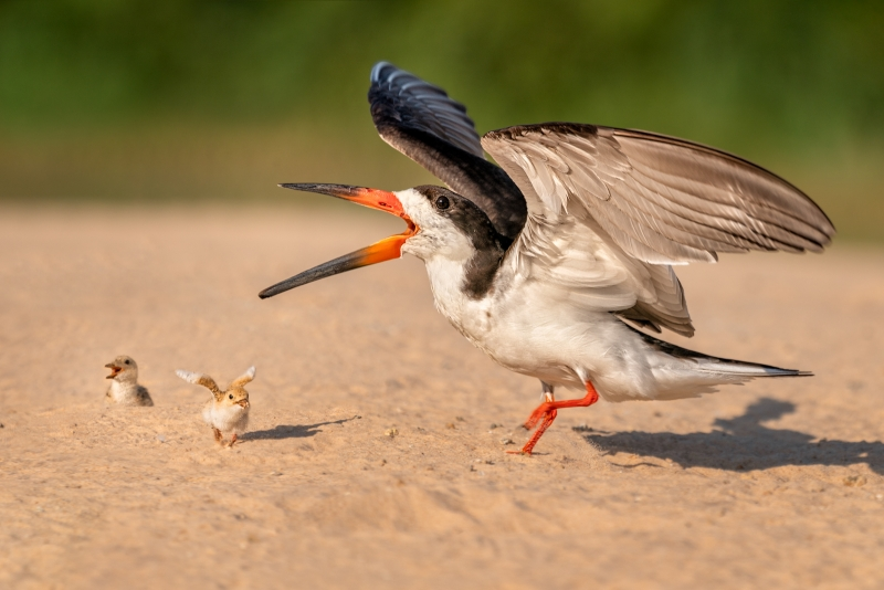Phil_Shaw-Black_Skimmer_with_Hungry_Chicks-9