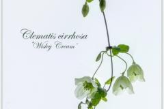 Lorna Brown-Clematis Cirrhosa-10