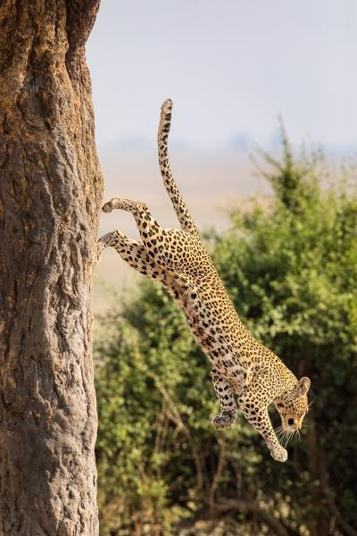 Phil_Shaw-Chobe-Leopard-_No._4-10