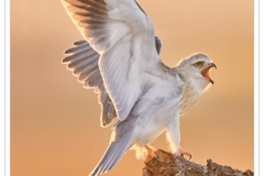 Phil_Shaw-Black-Shouldered-Kite-9.5
