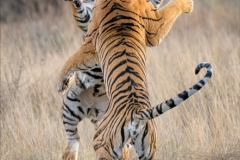 Phil_Shaw-Tiger_Skirmish_No._2-10