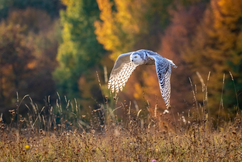 Chris-Gledhill-Snowy-Owl-in-Flight-9