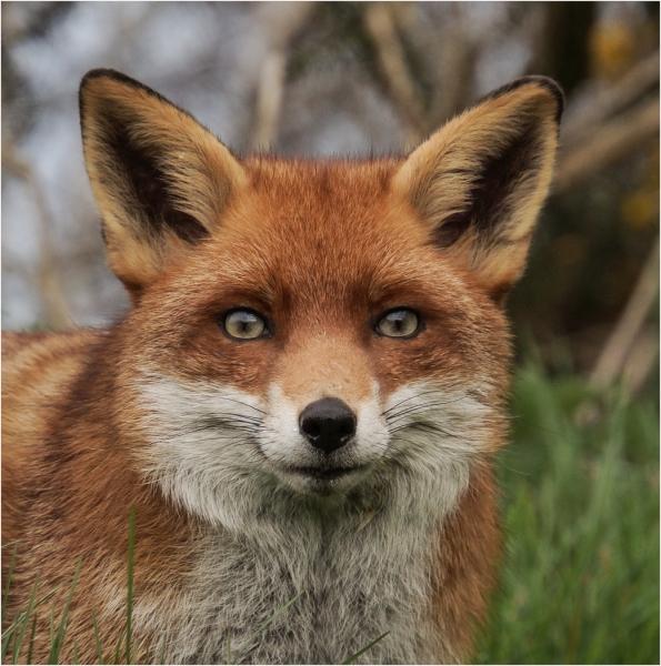 Sarah_Nichol-Mr_Fox-10